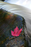 Maple leaf. Red maple leaf resting on rock near small waterfall royalty free stock photo
