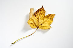 Maple leaf. Yellow maple leaf on white Stock Photography