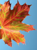 Maple leaf. Colourful maple leaf on blue background in autumn time Stock Photos
