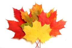 Maple-leaf Royalty Free Stock Photo
