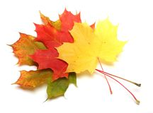 Maple-leaf Royalty Free Stock Image