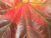 Maple leaf. Colourful maple leaf texture suitable as backgroun Stock Photo