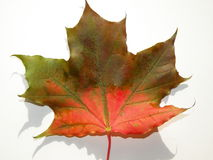Maple leaf. Isolated colourful maple leaf on white Royalty Free Stock Photo