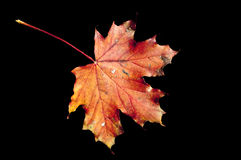 A maple leaf. In vibrant colors on black background Stock Photos
