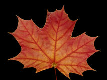 Maple leaf. A maple leaf isolated on black Stock Photos