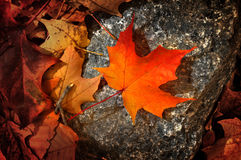 Maple leaf. A maple leaf on a rock stock image