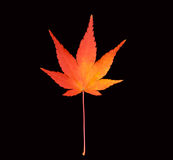 Maple Leaf. A close-up of a colorful Maple leaf isolated on a black background Stock Image