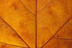 Maple leaf. Semitransparent yellow maple leaf closeup Stock Photo