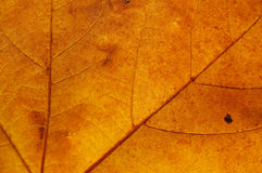 Maple leaf. Semitransparent yellow maple leaf closeup royalty free stock photography