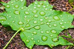 Maple leaf. Green maple leaf with water drops Stock Photo