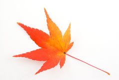 Maple Leaf. A close-up of a colorful maple leaf on a white background Stock Photography