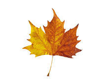 Maple leaf. Vivid maple leaf isolated over white background stock photo