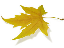 Maple leaf. Yellow maple leaf with shadow Stock Images