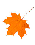 Maple leaf. On a white background isolated Royalty Free Stock Photography