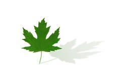 Maple leaf. Stock Image