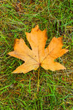 Maple Leaf. A maple leaf in the fall, laying on the ground against a grass background, all in fall colours Stock Photography