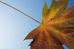 Maple leaf. Leaf with clipping path. Background blue gradient royalty free stock image