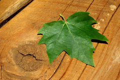 Maple leaf. A lone green maple leaf on wood Stock Photos