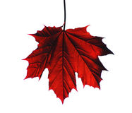 Free Maple Leaf Royalty Free Stock Photography - 149237