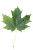 Maple leaf. Royalty Free Stock Image