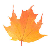 Maple leaf. Stock Image