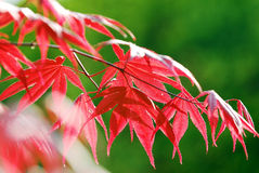 Maple Leaf. Red maple leaf under sunlight,with green color as background stock images