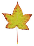 Maple leaf Royalty Free Stock Photo