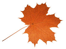 Maple leaf. Isolated in white background Royalty Free Stock Photos