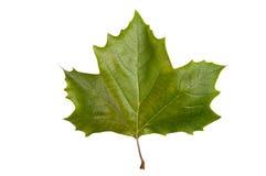 Maple leaf. Single maple leaf isolated on a white bakground Royalty Free Stock Images