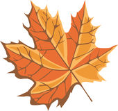 Maple leaf Royalty Free Stock Image