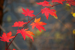 Maple Leaf. In the china pushi river Forest Park Royalty Free Stock Image