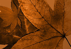 Maple Leaf. Layered dry leafs. Warm color Stock Photos