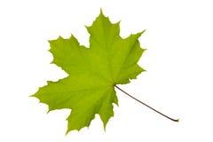 Free Maple Leaf Stock Photography - 19616642