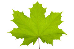Maple leaf. Green maple leaf isolated over white Stock Photography