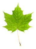 Maple leaf. Isolated on white background stock image