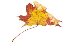 Maple leaf. Autumn maple leaf isolated on white background. This has a clipping path Royalty Free Stock Image
