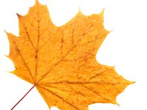 Maple Leaf. A dried maple leaf on a white background Stock Images
