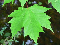 Maple Leaf. In summer Stock Photos