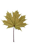 Maple leaf. Close-up of one green maple leaf on white stock photos