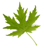 Maple Leaf. Leaf from Silver Maple (Acer saccharinum) on a white background royalty free stock photo