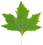 Maple leaf. Green maple leaf isolated on white background Stock Image