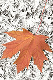 Maple-leaf Royalty Free Stock Photo
