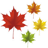 Maple leaf. A maple leaf in red, yellow, orange, and green colors Stock Photo