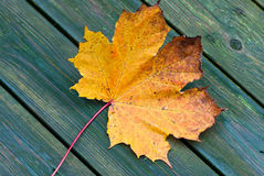 Maple leaf. Royalty Free Stock Image