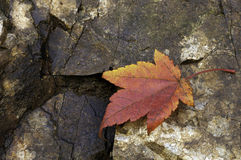 A maple leaf. An moist maple leaf on the surface of a rock Royalty Free Stock Photo