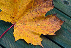 Maple leaf. Royalty Free Stock Images