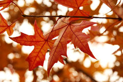 Maple Leaf. It s a close-up version of maple leaf in fall, all of which is in red Royalty Free Stock Image