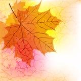 Maple leaf Royalty Free Stock Photos