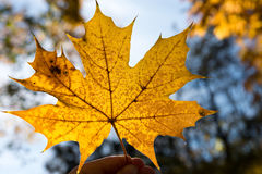 Maple leaf. Yellow maple leaf held against the sun Royalty Free Stock Photography