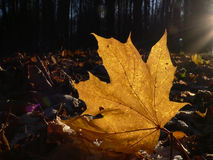 Free Maple Leaf Stock Photography - 327122